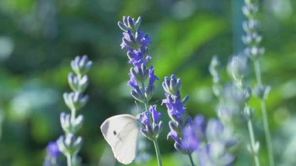 The white butterfly pieris brassicae drinks the nectar of blue lavender flowers and flies away. Macro video of an insect in slow motion.