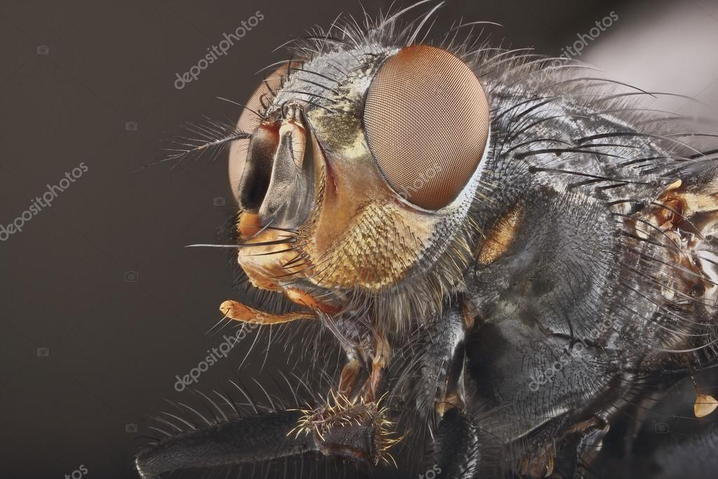Portrait of fly