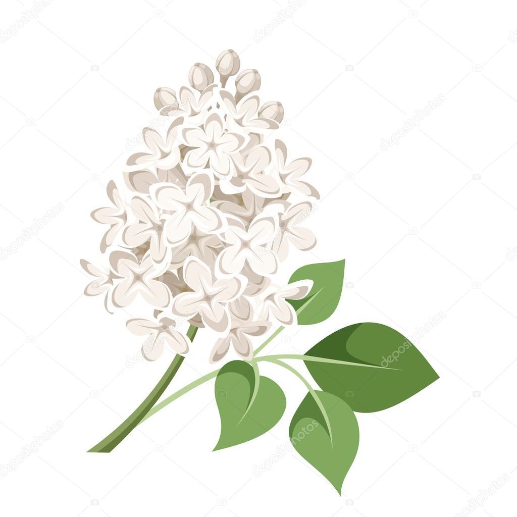 Beyaz lila iek dal vektr izim stok vektr naddya 64569001 vector illustration of branch of white lilac flowers isolated on a white background naddya vektr mightylinksfo