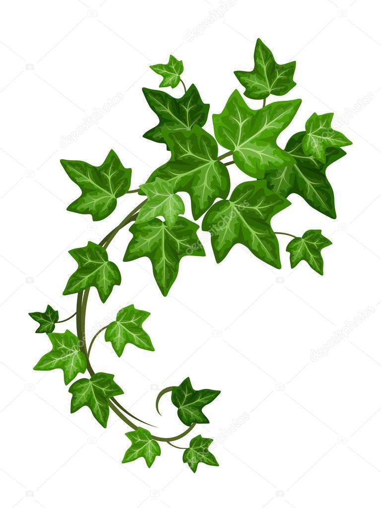 Ivy branch. Vector illustration.