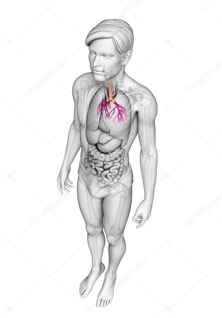 Male Throat Anatomy Stock Photo Pixdesign123 52389209