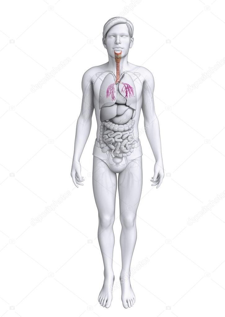 Anatomía masculina garganta — Foto de stock © pixdesign123 #52389485