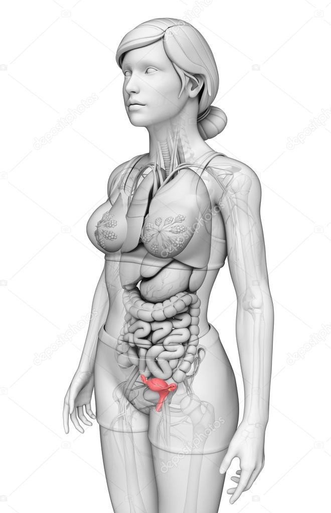 weibliche Gebärmutter Anatomie — Stockfoto © pixdesign123 #52399831