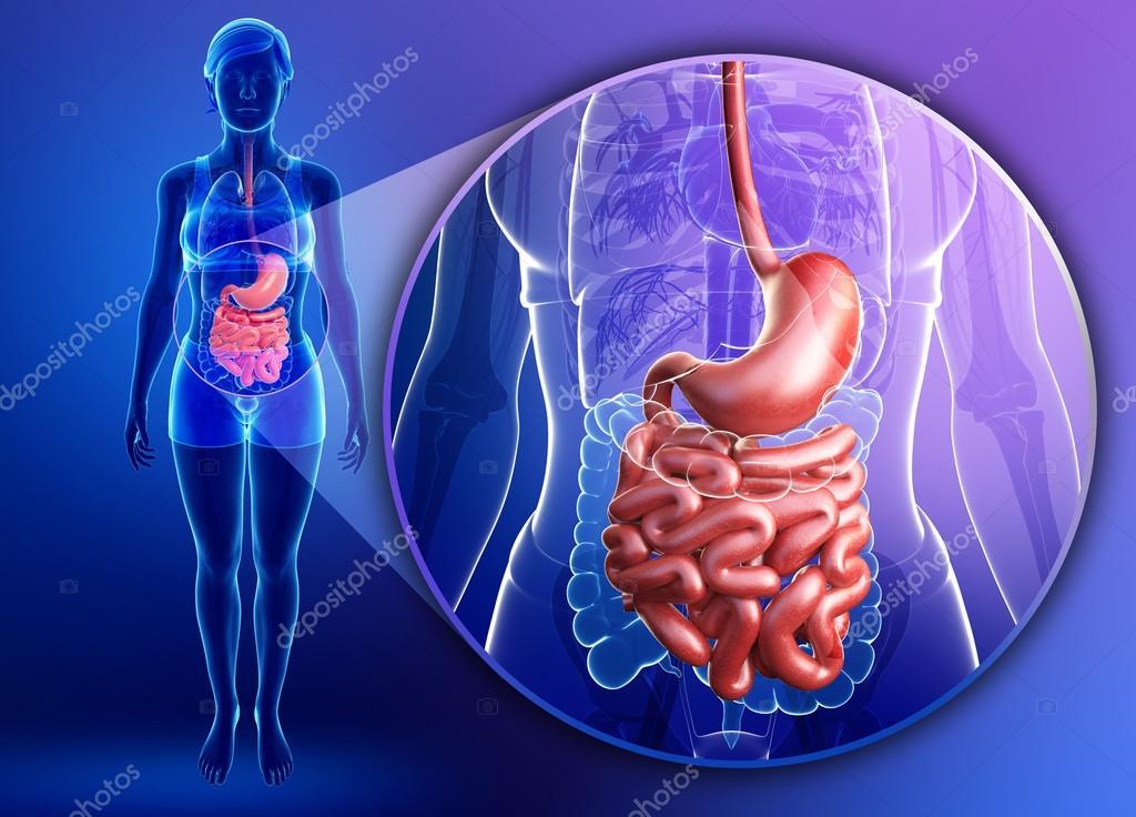 Anatomía del intestino delgado de la mujer — Fotos de Stock ...