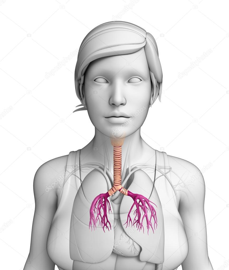 anatomía femenina garganta — Fotos de Stock © pixdesign123 #52402687