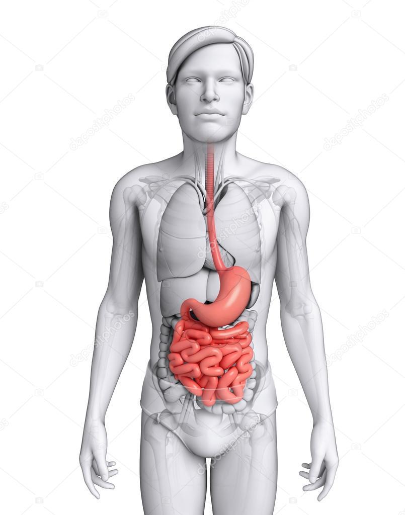 dunne darm anatomie van male — Stockfoto © pixdesign123 #52402745