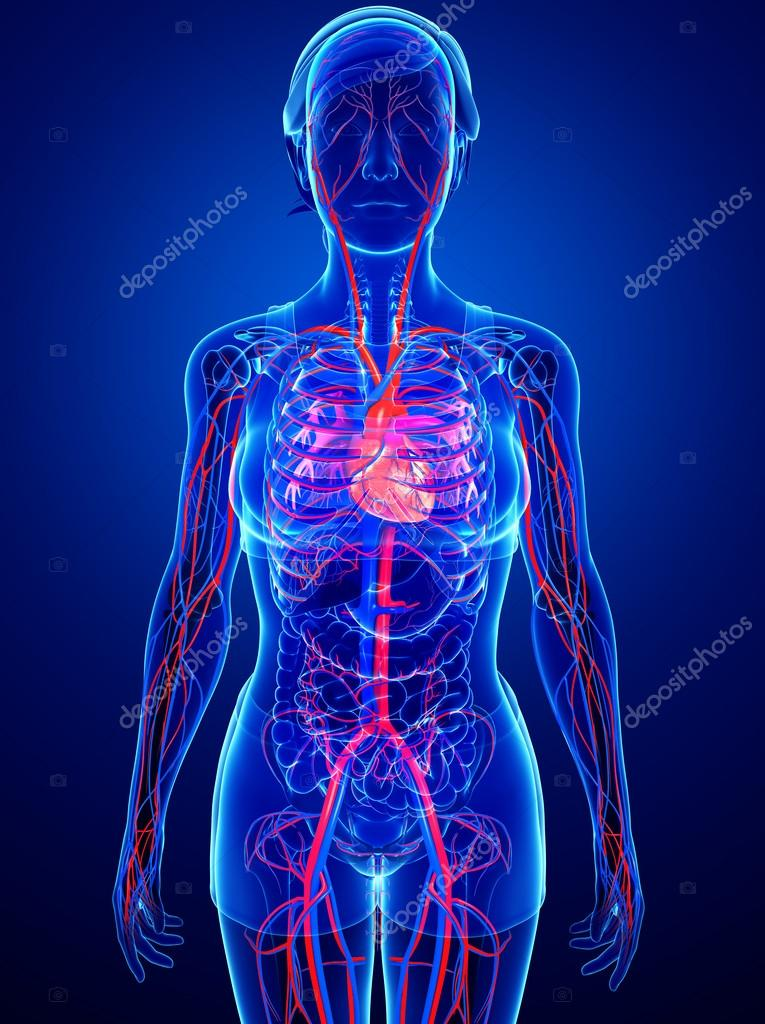 Circulatory System Stock Photos Royalty Free Circulatory System