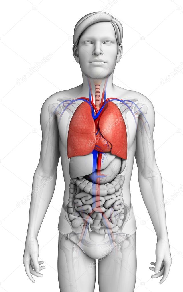 männliche Lunge Anatomie — Stockfoto © pixdesign123 #52409989
