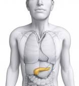anatomie mužského slinivky