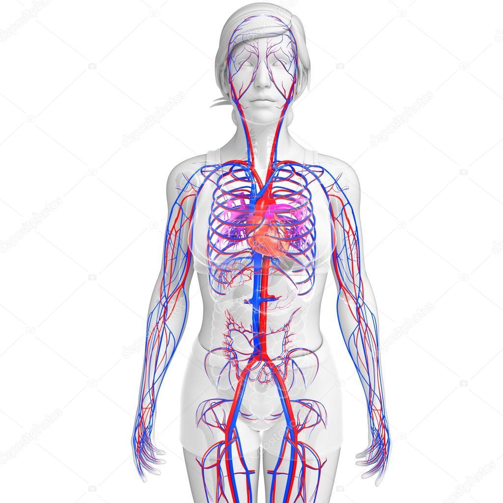 weibliche Herz-Kreislauf-system — Stockfoto © pixdesign123 #52414733