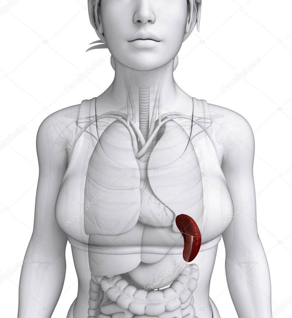 Female spleen anatomy — Stock Photo © pixdesign123 #52415785