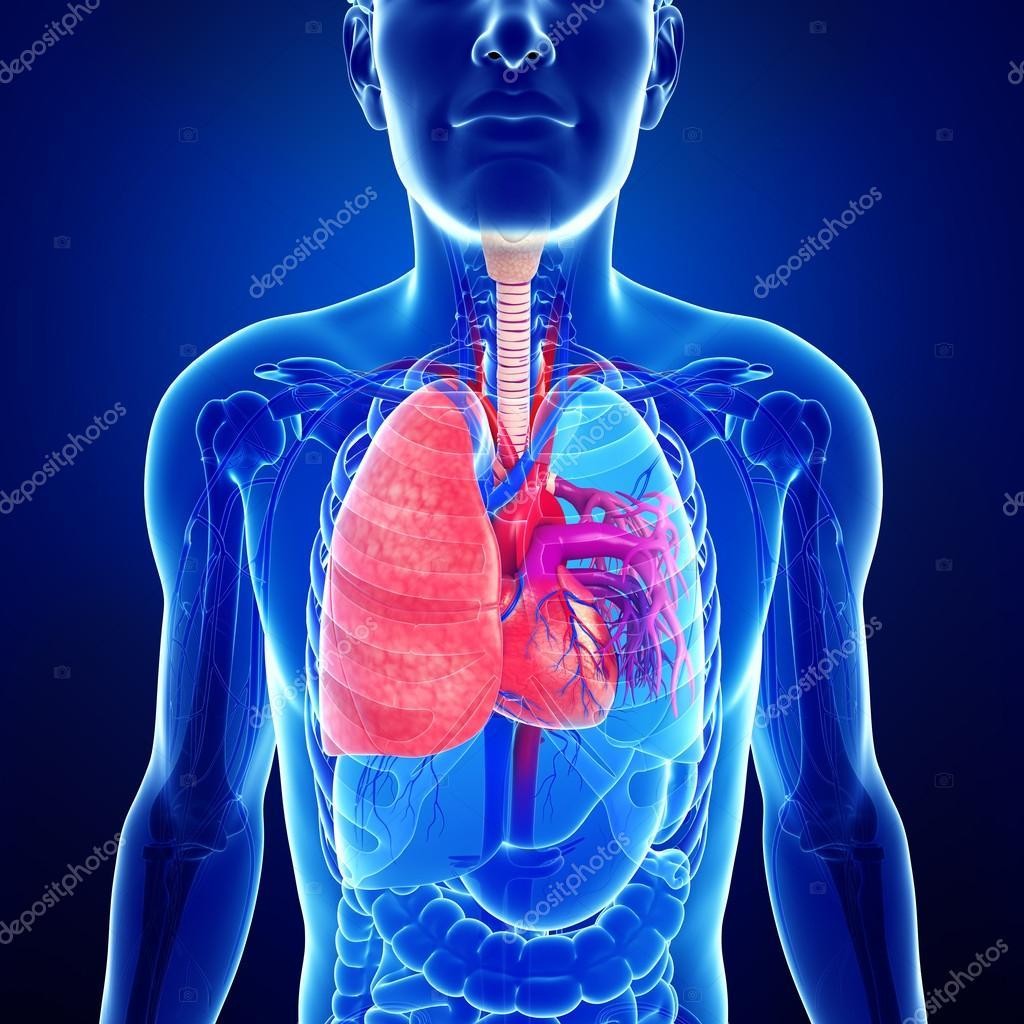männliche Lunge Anatomie — Stockfoto © pixdesign123 #52419253