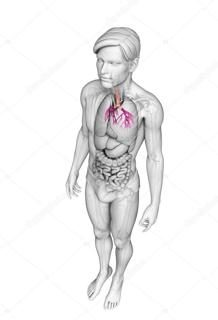 Anatomía masculina garganta — Fotos de Stock © pixdesign123 #52423537