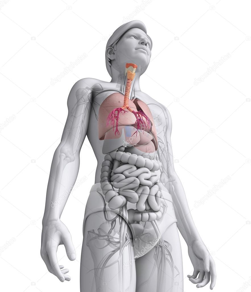 männliche Hals Anatomie — Stockfoto © pixdesign123 #52423581
