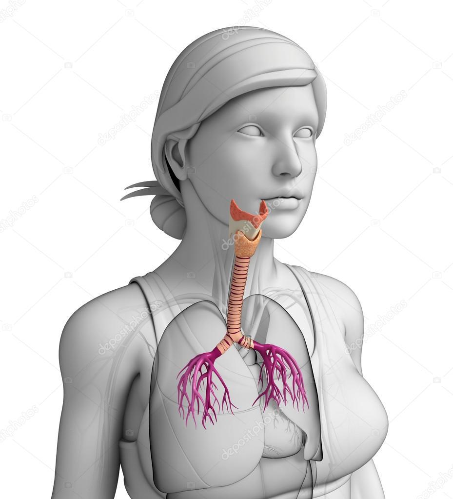 anatomía femenina garganta — Foto de stock © pixdesign123 #52423729