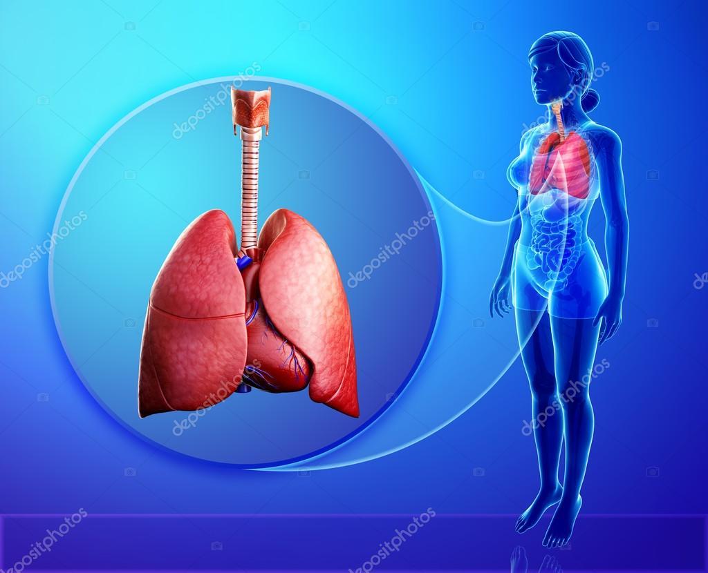 Anatomie der menschlichen Lunge — Stockfoto © pixdesign123 #52425987