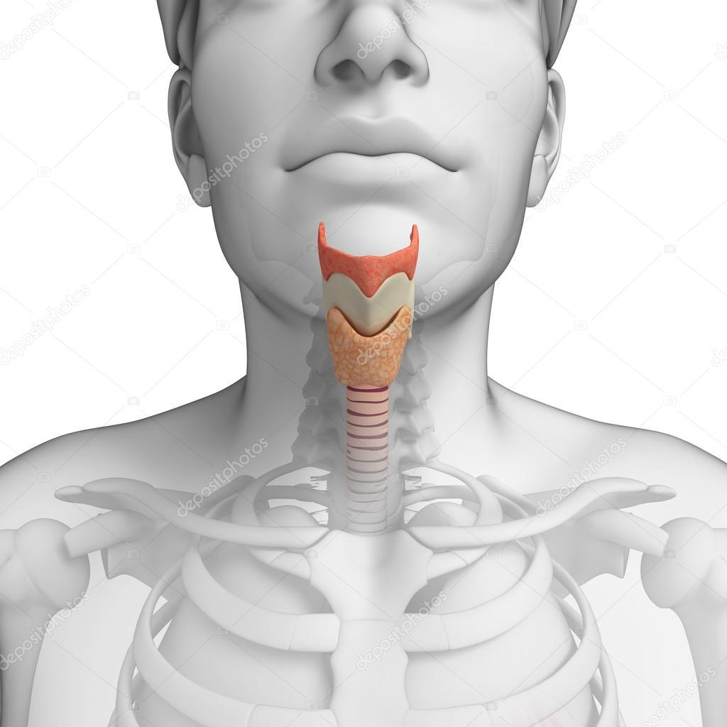 Anatomía masculina garganta — Fotos de Stock © pixdesign123 #55467907