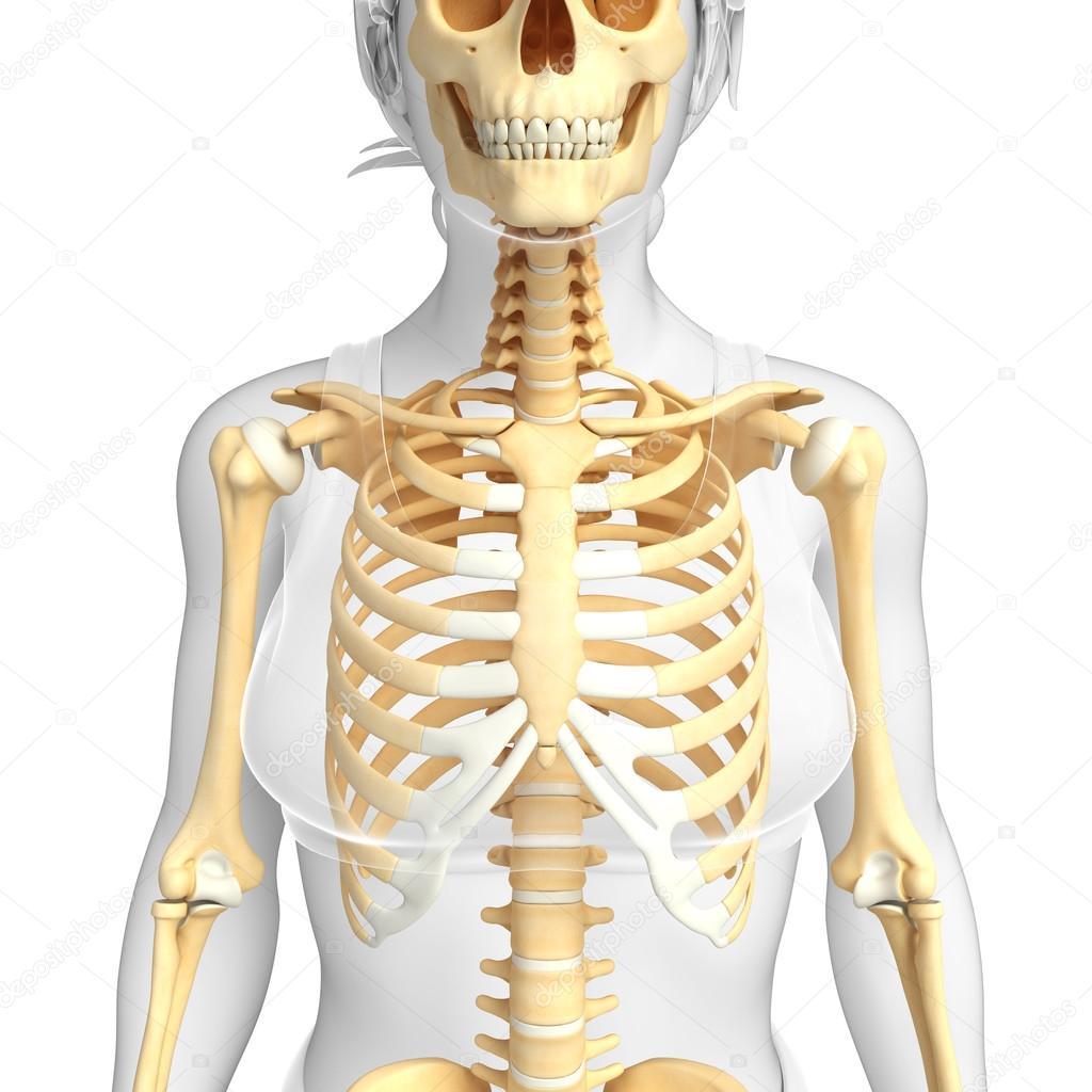 esqueleto humano vista frontal — Foto de stock © pixdesign123 #55468365