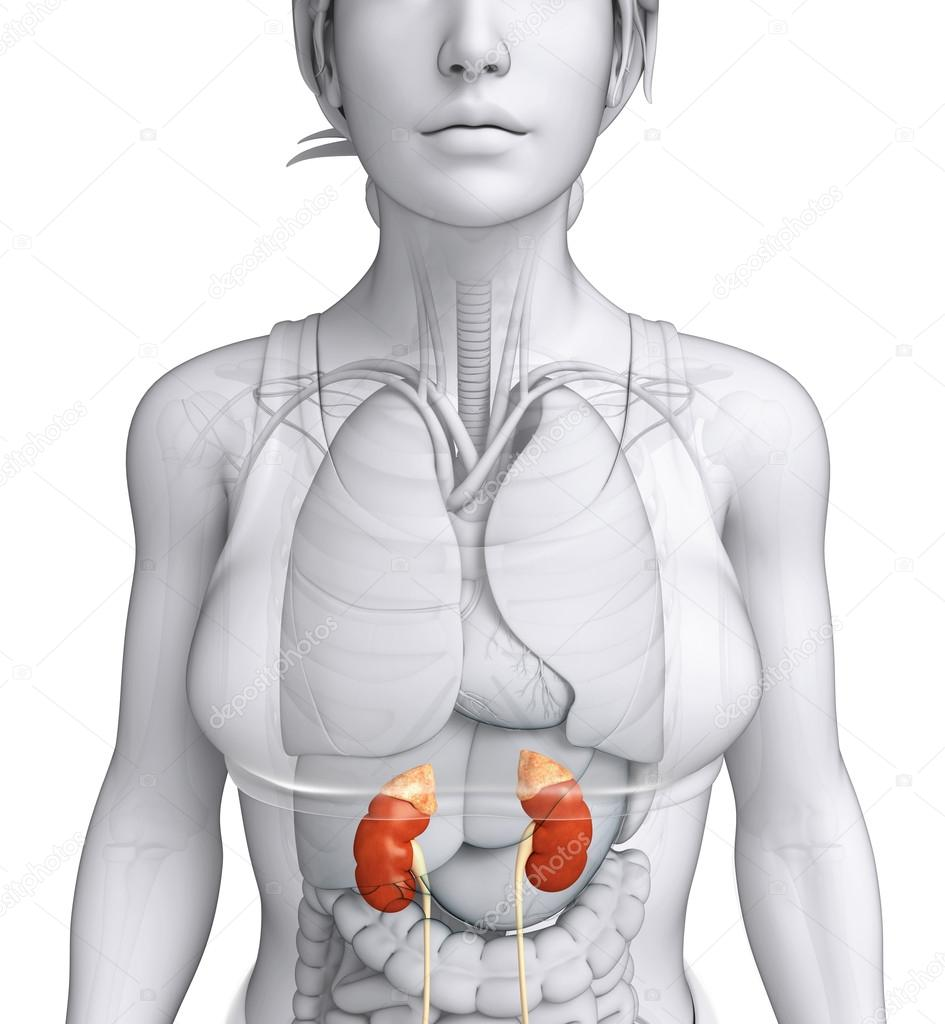 Female Urinary System Stock Photo Pixdesign123 55468405