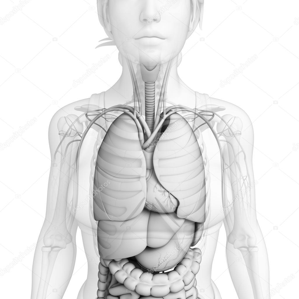 Verdauungssystem der weiblichen Anatomie — Stockfoto © pixdesign123 ...