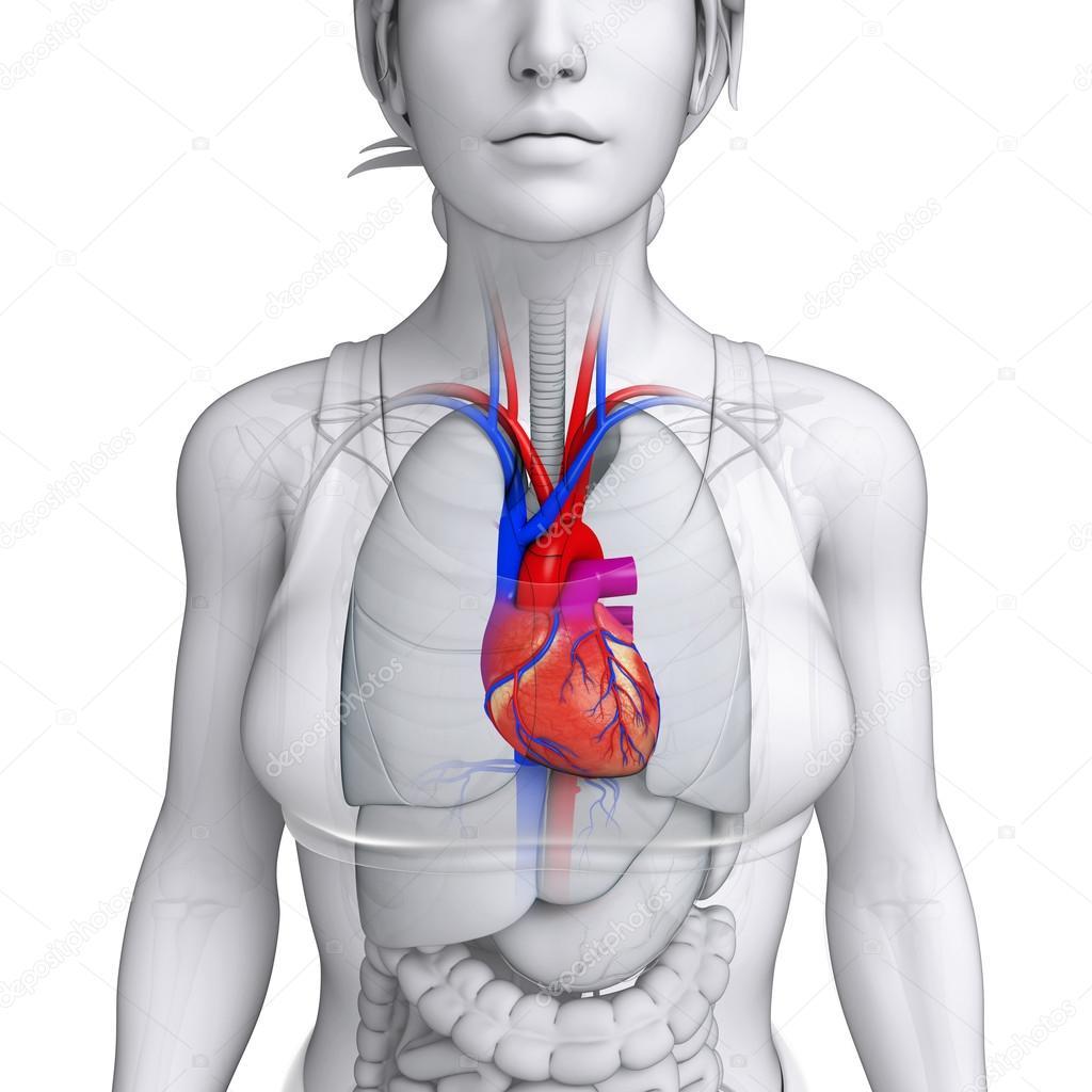 vrouwelijke hart anatomie — Stockfoto © pixdesign123 #55469119