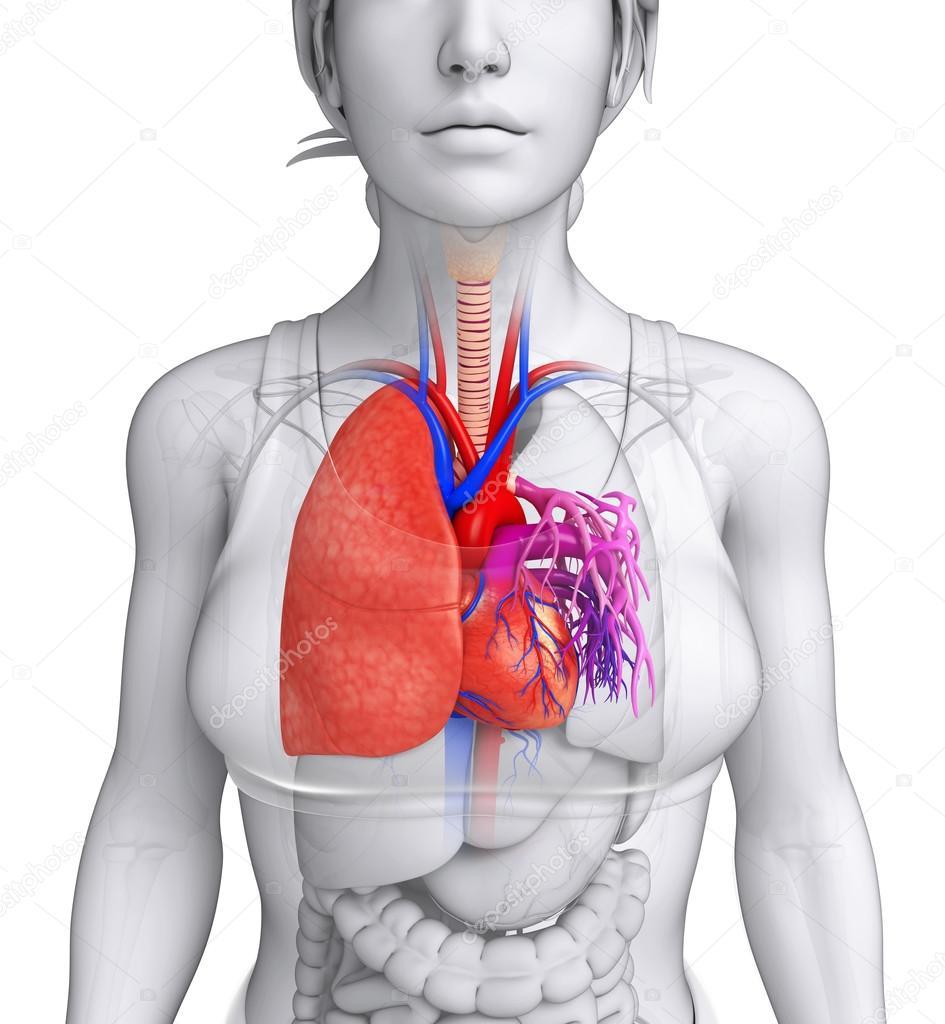 Anatomía masculina pulmones — Fotos de Stock © pixdesign123 #55469157