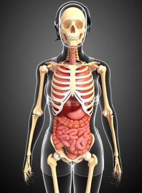 Female skeleton and digestive system