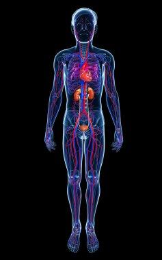 Male circulatory system