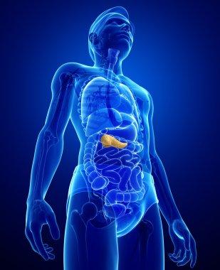 Male pancreas anatomy
