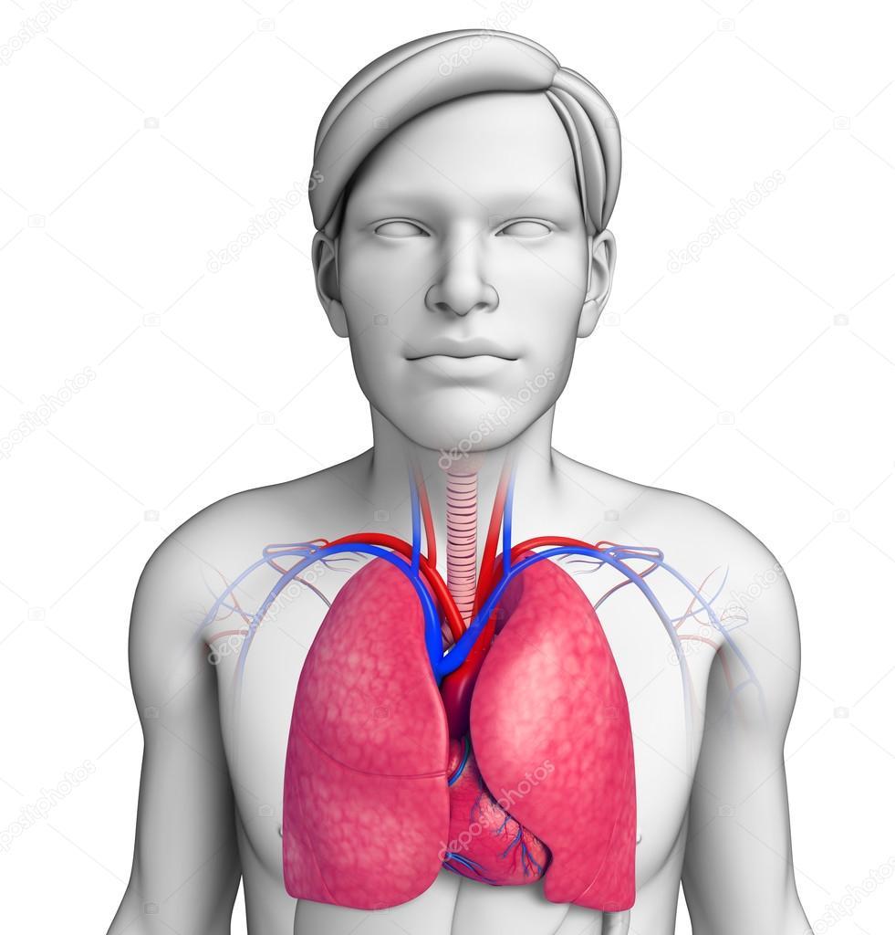männliche Lunge Anatomie — Stockfoto © pixdesign123 #55471575