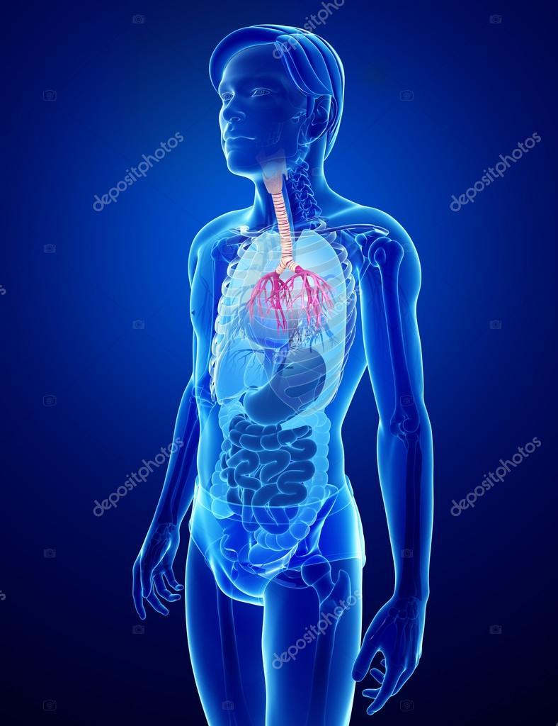 Anatomía masculina garganta — Foto de stock © pixdesign123 #55472541