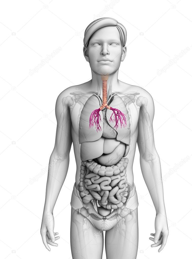 Anatomía masculina garganta — Foto de stock © pixdesign123 #55472677