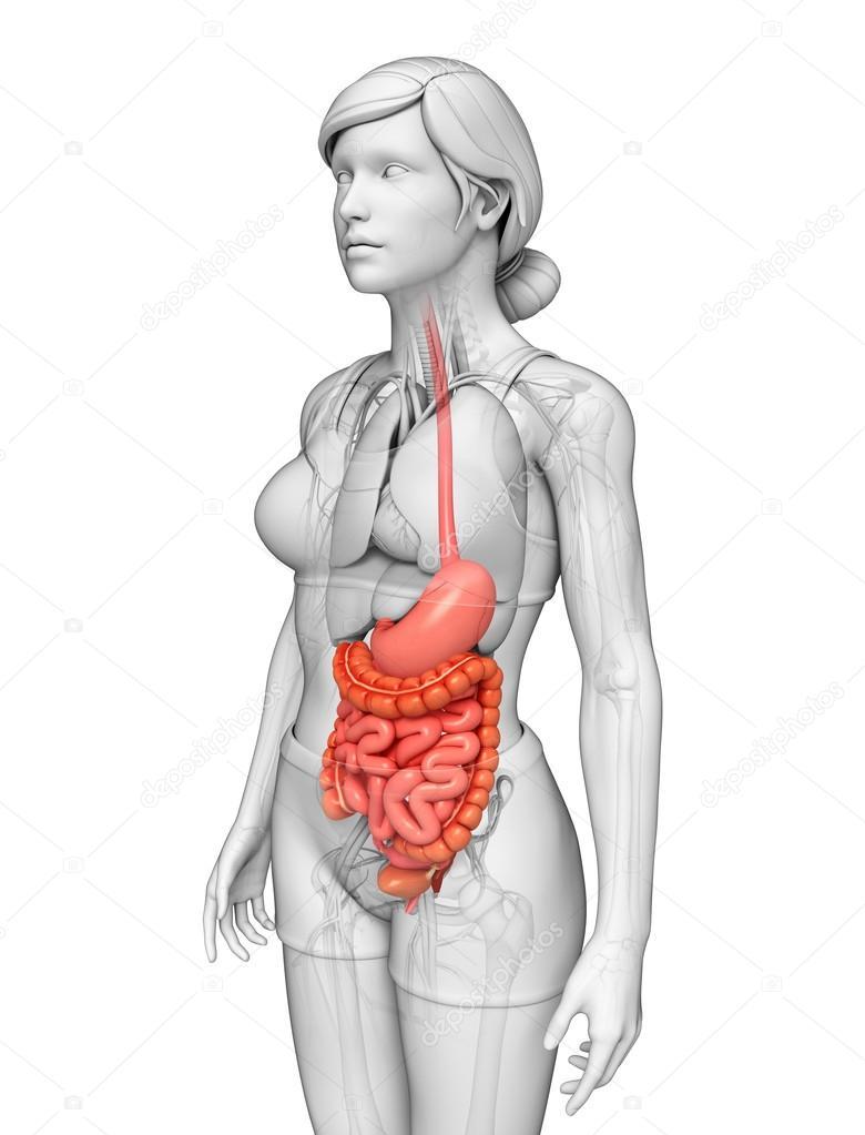 dunne darm anatomie van vrouwelijke — Stockfoto © pixdesign123 #55472713