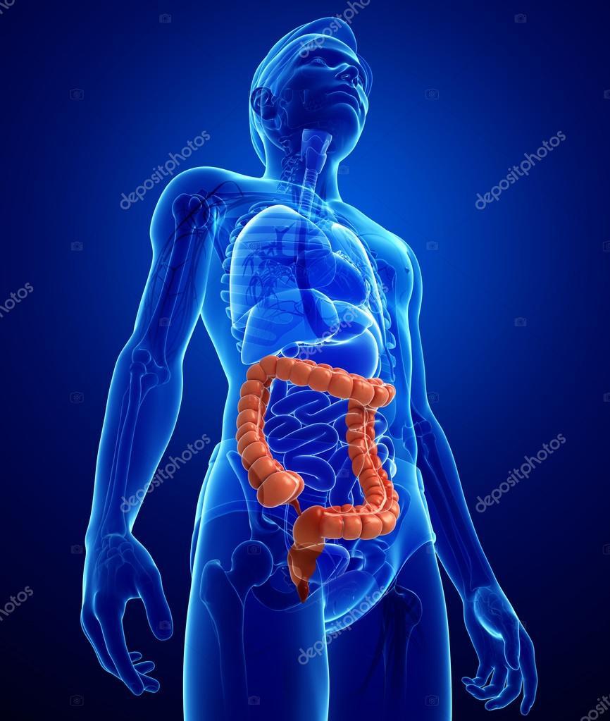 Anatomía del intestino grueso macho — Fotos de Stock © pixdesign123 ...