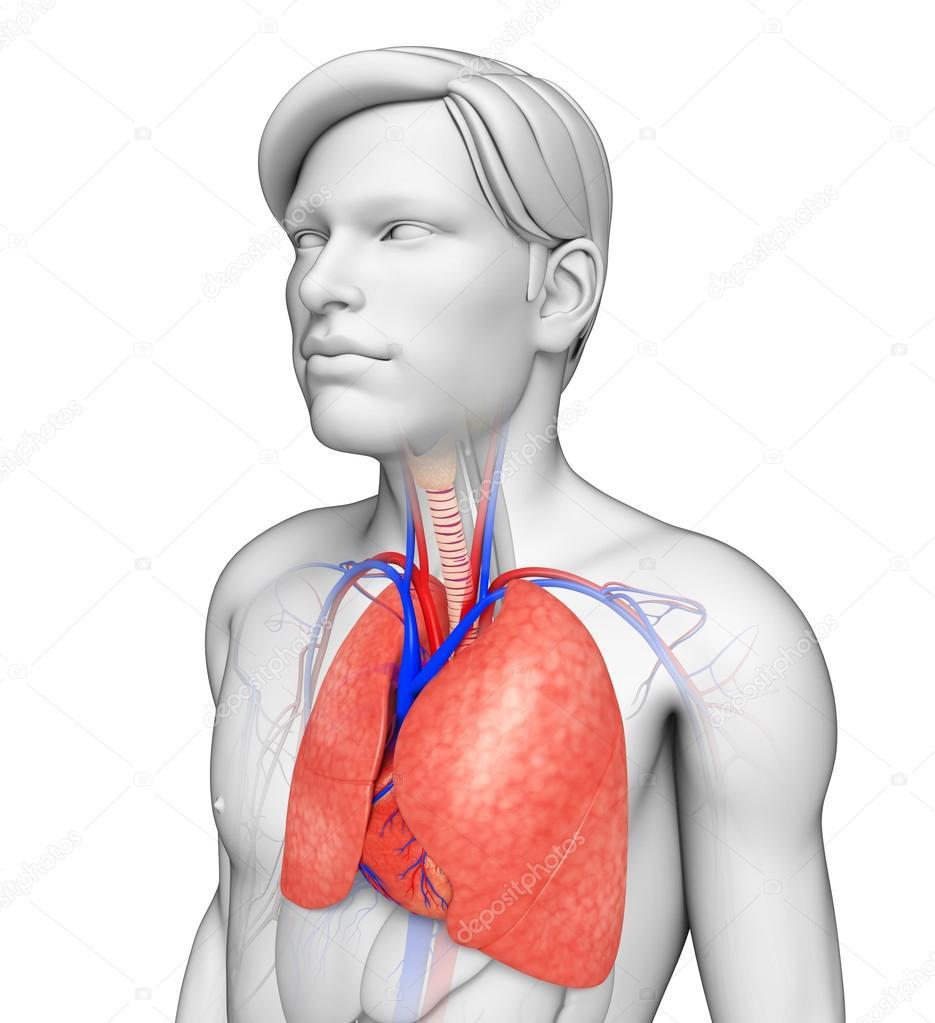 männliche Lunge Anatomie — Stockfoto © pixdesign123 #55474405