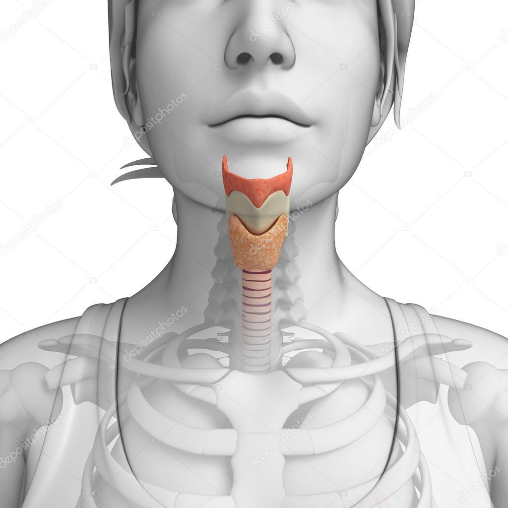 anatomía femenina garganta — Fotos de Stock © pixdesign123 #55474437