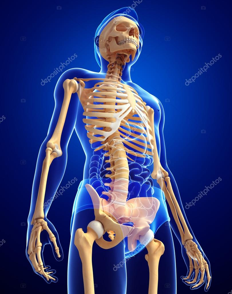 Human Skeleton Side View Stock Photo Pixdesign123 55475189