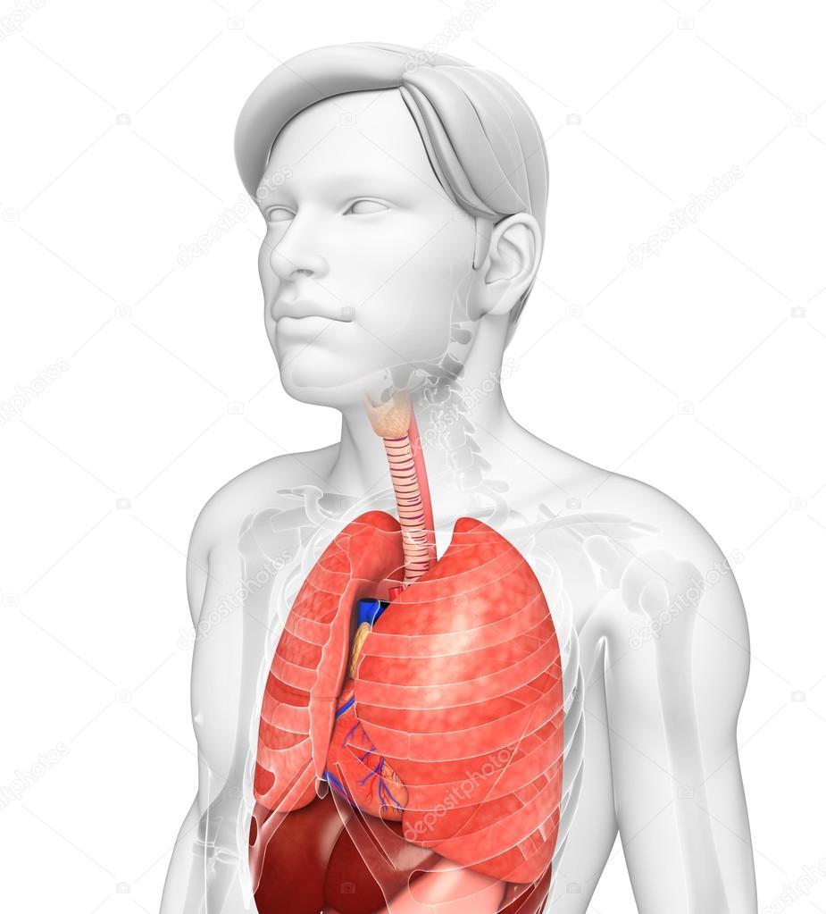 männliche Lunge Anatomie — Stockfoto © pixdesign123 #55476007