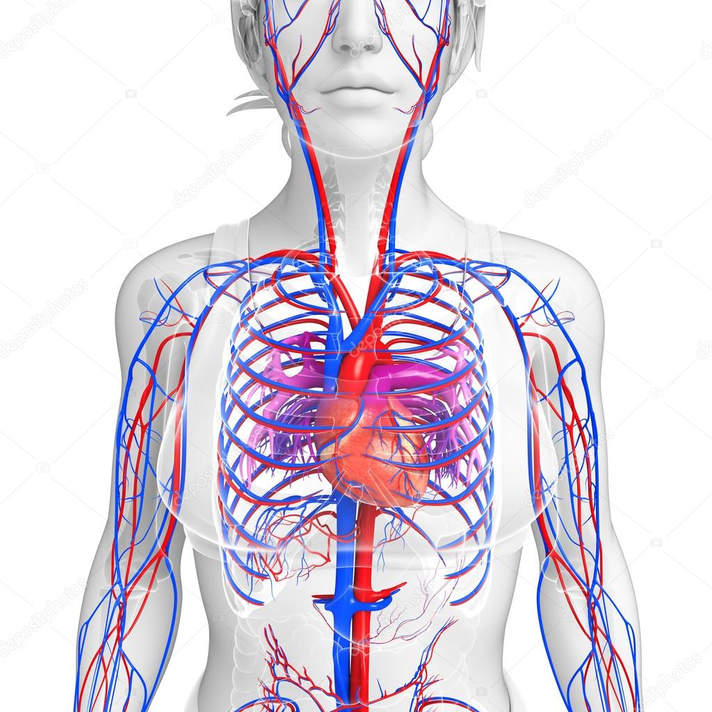 Female Circulatory System Stock Photo Pixdesign123 55476029
