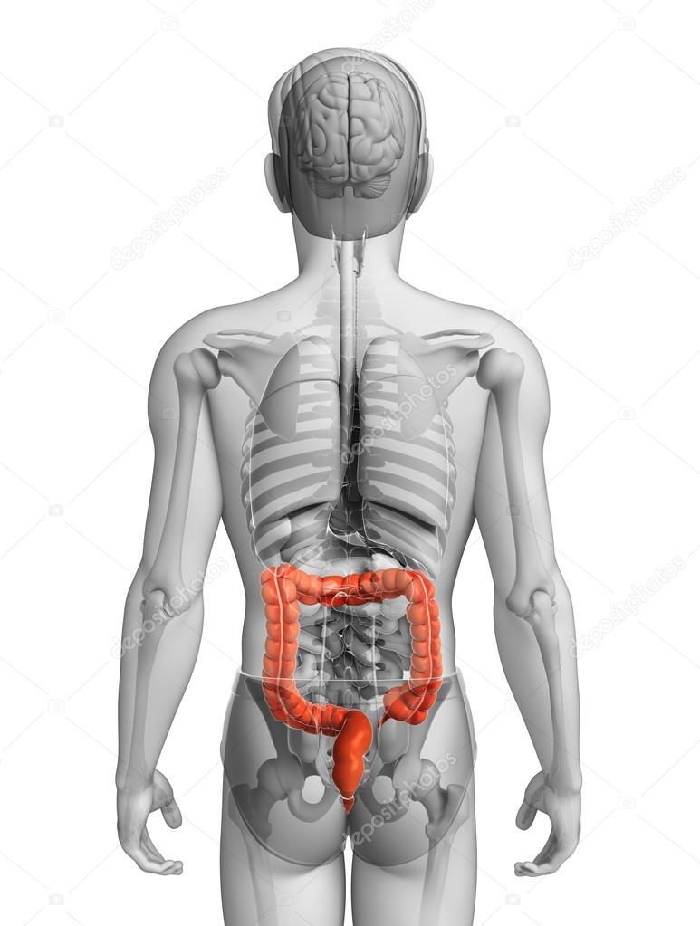 Anatomie van de mannelijke dikke darm — Stockfoto © pixdesign123 ...