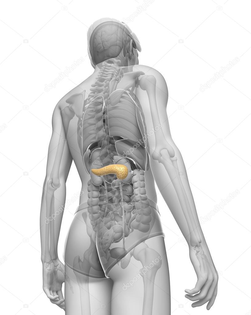 männlichen Pankreas Anatomie — Stockfoto © pixdesign123 #55477955