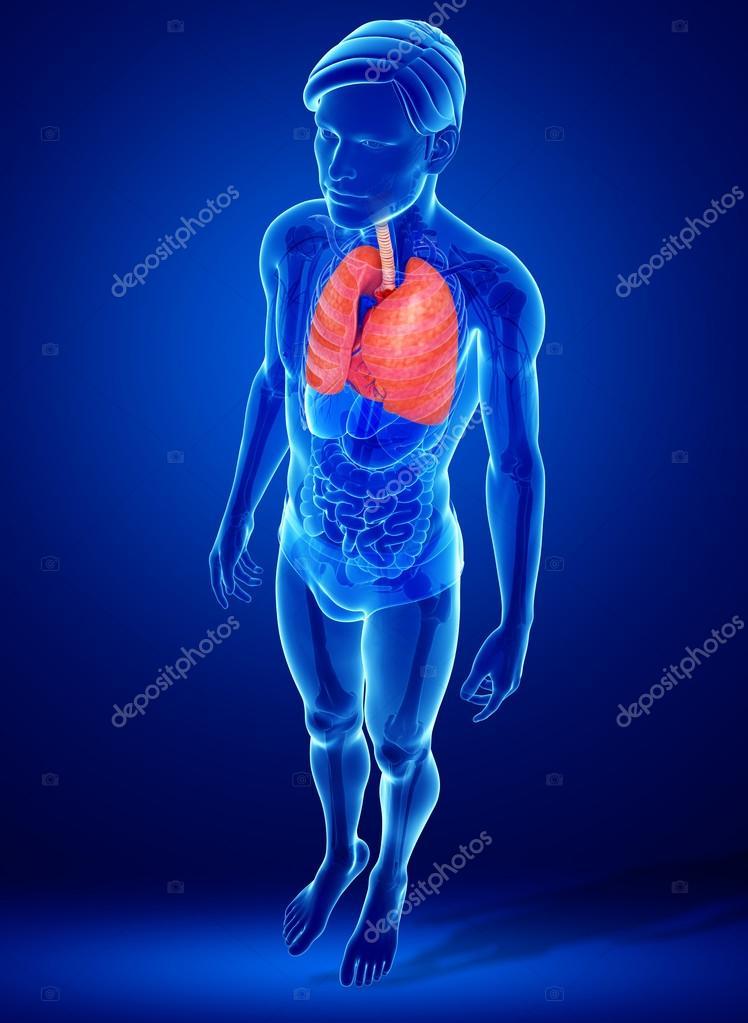 männliche Lunge Anatomie — Stockfoto © pixdesign123 #55478009