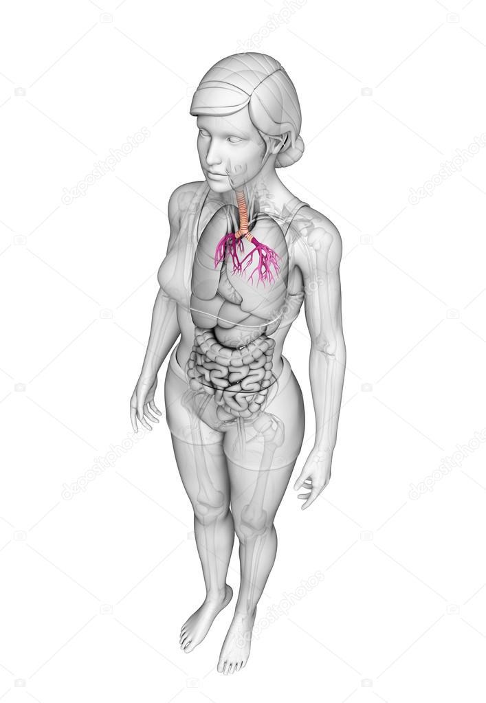 Anatomie der weiblichen Kehle — Stockfoto © pixdesign123 #55478033