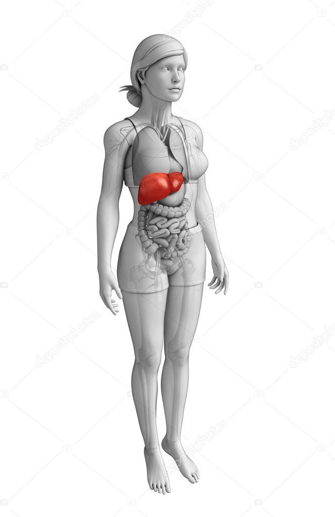 weibliche Anatomie der Leber — Stockfoto © pixdesign123 #55478493