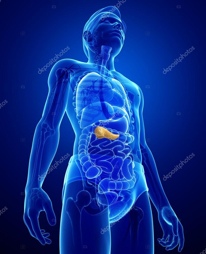 männlichen Pankreas Anatomie — Stockfoto © pixdesign123 #55479505