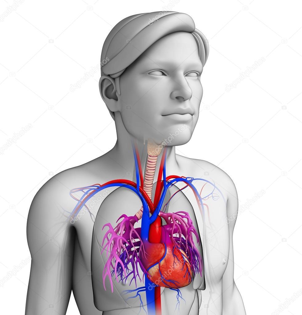 männliche Herz Anatomie — Stockfoto © pixdesign123 #55480799