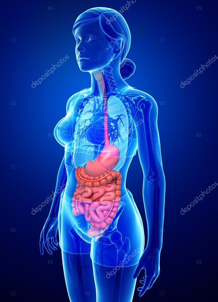 Anatomía del intestino delgado de la mujer — Foto de stock ...