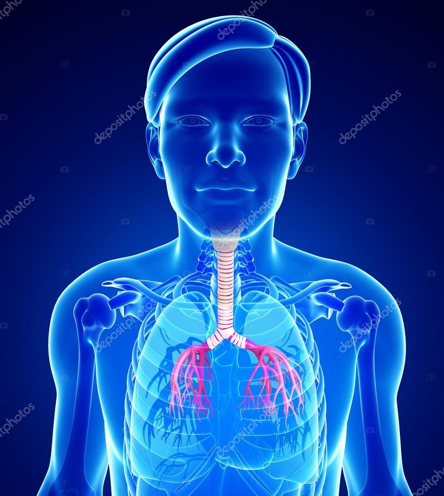 Anatomía masculina garganta — Foto de stock © pixdesign123 #55482609