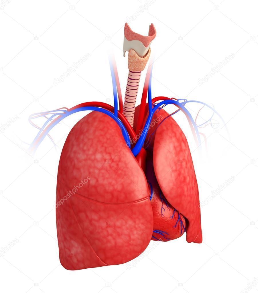 männliche Lunge Anatomie — Stockfoto © pixdesign123 #55483339