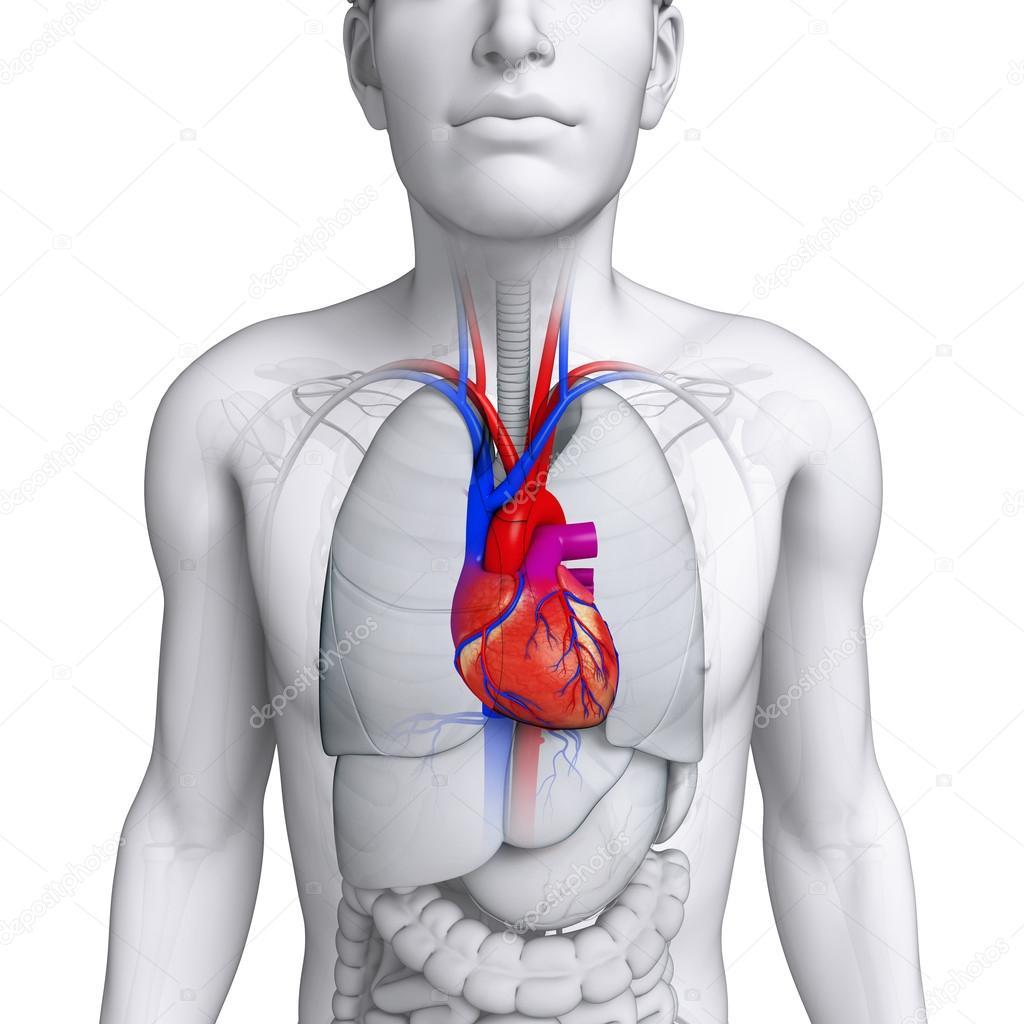 männliche Herz Anatomie — Stockfoto © pixdesign123 #55484109
